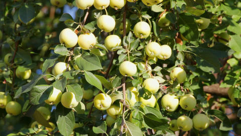green apples on tree swinging Stock Video Footage