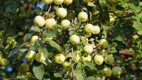 green apples on tree swinging Footage