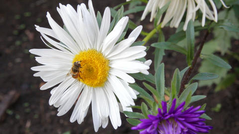 bee on aster flower Footage