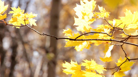 autumn bright yellow maple leaves in sunlight Footage