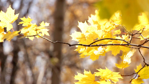 autumn bright yellow maple leaves in sunlight Stock Video Footage