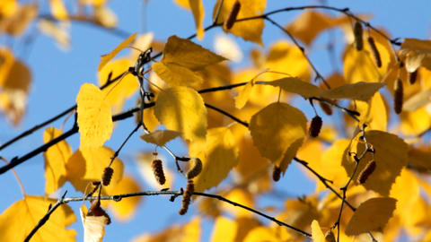 autumn bright yellow birch leaves Stock Video Footage