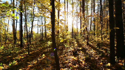 beautiful autumn forest with sun shining - dolly s Stock Video Footage