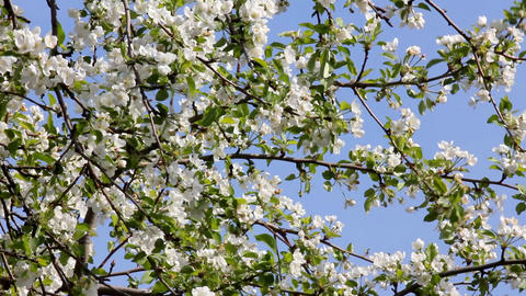 Blossom apple tree branches Stock Video Footage