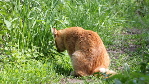 Red cat eating grass Stock Video Footage