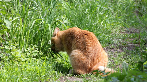 Red Cat Eating Grass stock footage