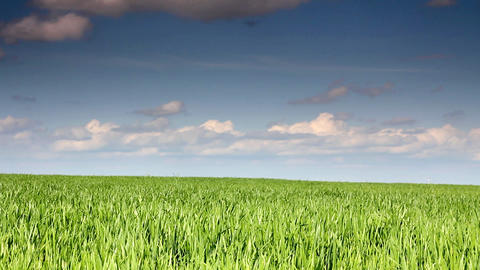 green field with wheat under blue sky Stock Video Footage