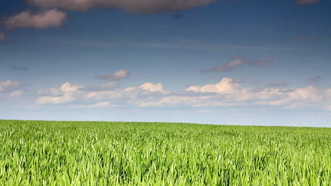 green field with wheat under blue sky Footage