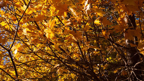 beautiful autumn yellow leaves - dolly shot Footage
