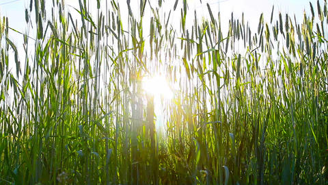 rays of the morning sun and green ears Stock Video Footage