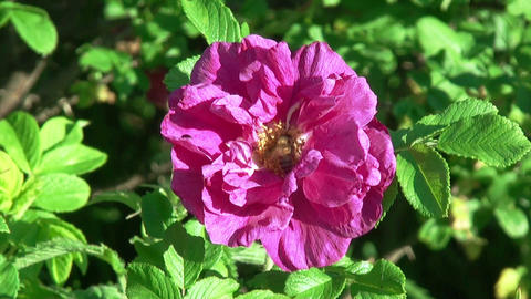 Bee on a Rose Flower. HD 1080. Close-up Stock Video Footage