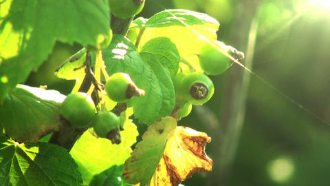 Green berries in sunlight. Light breeze. HD 1080 Stock Video Footage