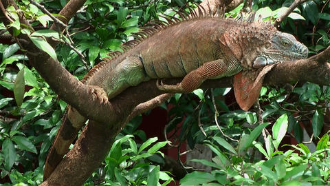 Green Iguana Lying In Tree stock footage