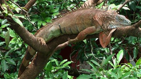 green iguana lying in tree Stock Video Footage