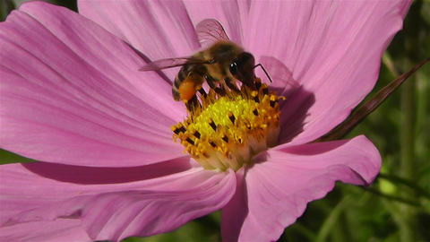 Bee in work on Pink Summer Flower 2 Stock Video Footage