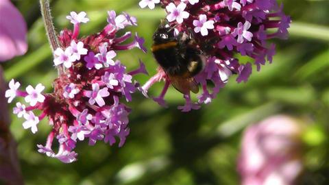 Bee in work on Pink Summer Flower 4 Stock Video Footage