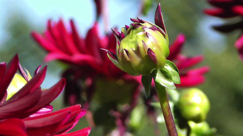 Red Summer Flowers 7 garden Stock Video Footage