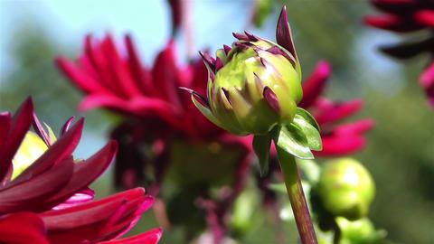 Red Summer Flowers 7 garden Stock Video Footage