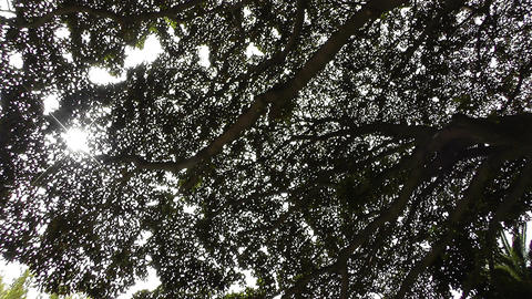 Rubber Tree lowangle Footage