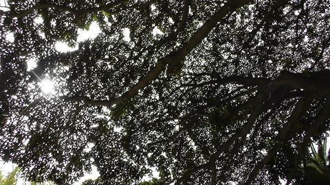 Rubber Tree lowangle Stock Video Footage