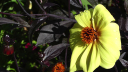 Yellow Summer Flowers 5 garden Stock Video Footage
