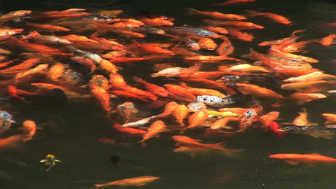 Koi stock footage