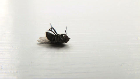 Dying Fly Stock Video Footage