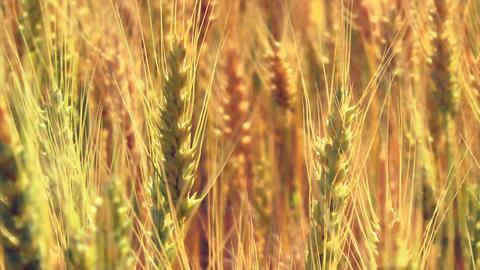 Close Up Ripe Wheat Stock Video Footage