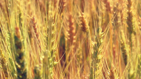 Close Up Ripe Wheat Stock Video Footage