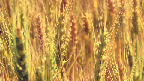 Close Up Ripe Wheat Footage