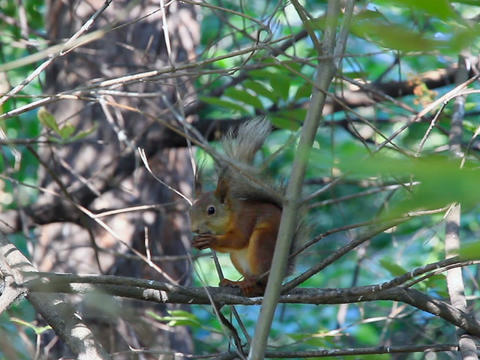 Squirrel on branch eating a nut Stock Video Footage