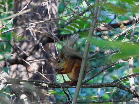 Squirrel on branch eating a nut Footage