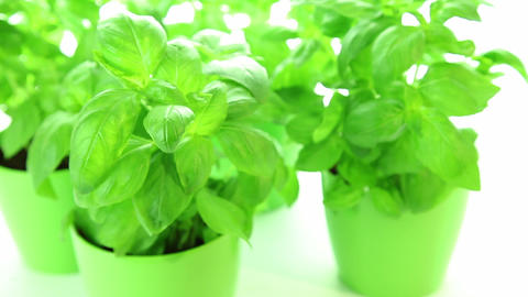 Fresh green basil plant leaves on white Stock Video Footage