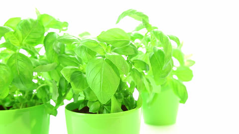 Fresh green basil plant leaves on white Footage