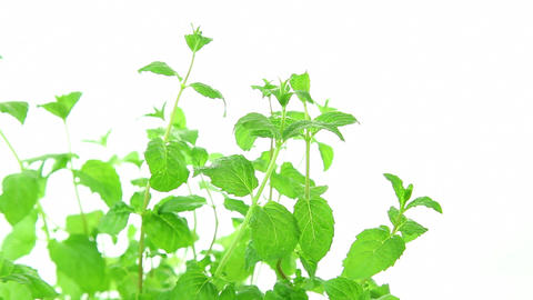 Fresh mint on white background, green mint leaves Footage