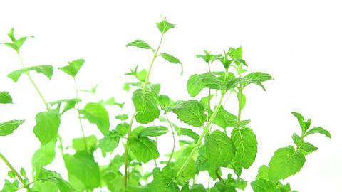 Fresh mint on white background, green mint leaves Stock Video Footage