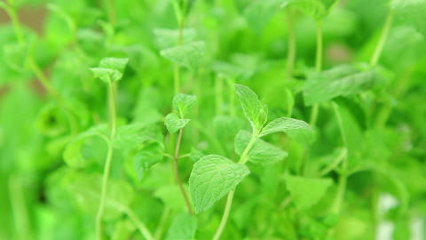 Mint leaves, fresh mint plants background Stock Video Footage