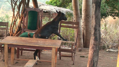 African Goat Footage