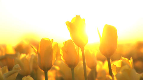 Sunset on a Tulip Field Stock Video Footage