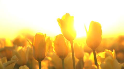 Sunset on a Tulip Field Footage