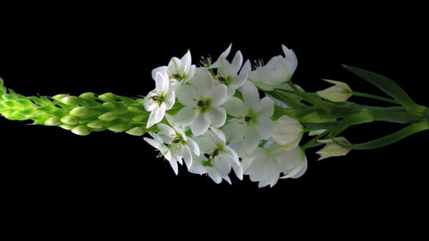 Time-lapse of opening white african lily 1v3 isola Stock Video Footage