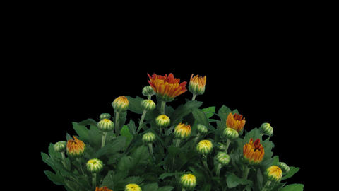 Time-lapse of opening orange chrysanthemum flower Stock Video Footage