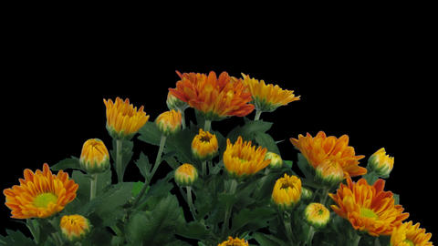 Time-lapse Of Opening Orange Chrysanthemum Flower  stock footage