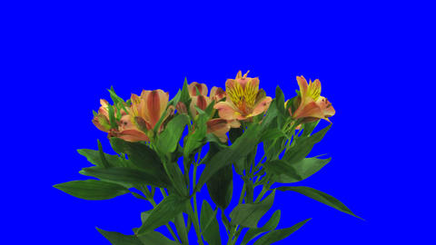 Time-lapse of opening yellow-red peruvian lily 1a1 Stock Video Footage