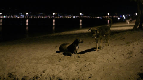 Three stray dogs in the beach by night Stock Video Footage