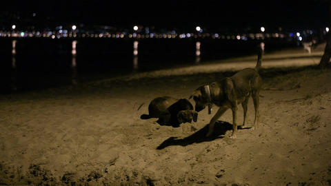 Three stray dogs in the beach by night Footage