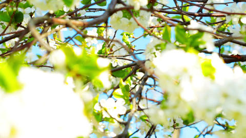 apricot flowers blooming in spring Stock Video Footage