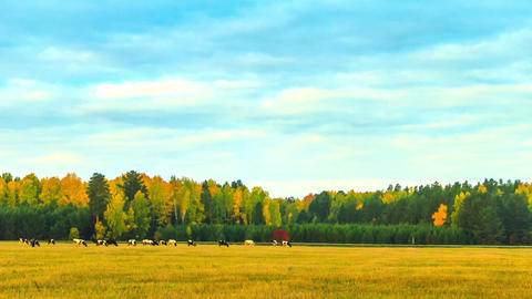 Cows graze in the autumn. Time Lapse Stock Video Footage