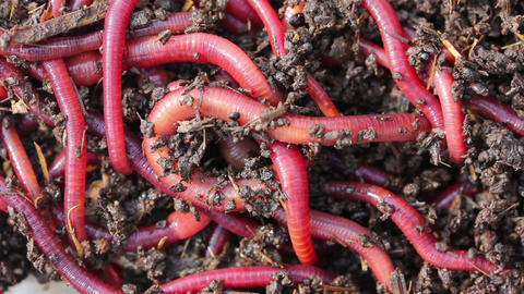 many red worms in dirt - bait for fishing Stock Video Footage