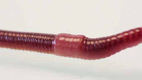 red worm macro Footage